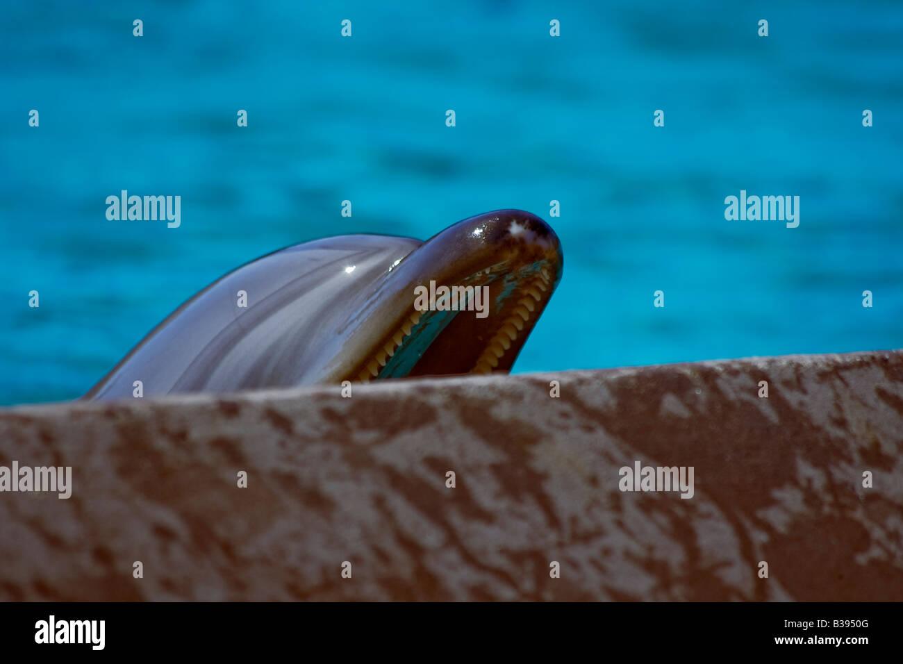 Bottlenose Dolphin Tursiops truncatus Großer Tümmler captive in tank begging for food - Stock Image
