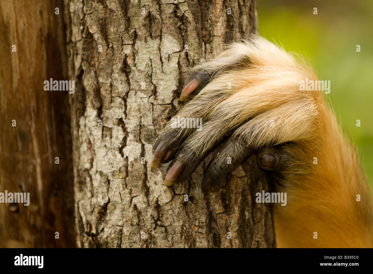 golden monkey's claw - Stock Image