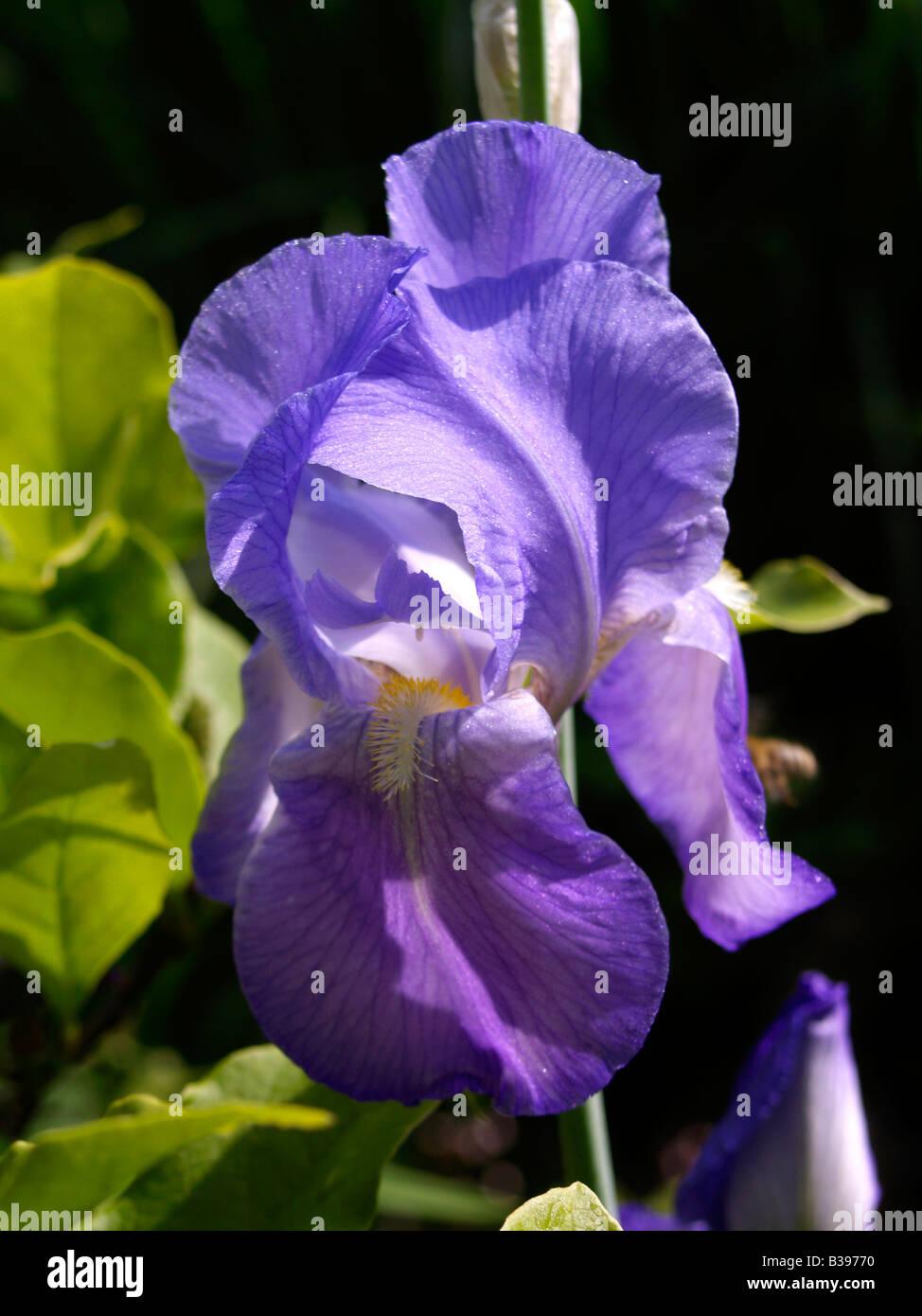 Sibirische schwertlilie iris sibirica siberian iris flower stock sibirische schwertlilie iris sibirica siberian iris flower izmirmasajfo