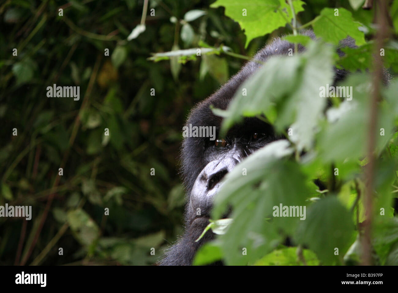 Mountain gorilla of the Amahoro Group in Volcanoes National Park, Rwanda - Stock Image
