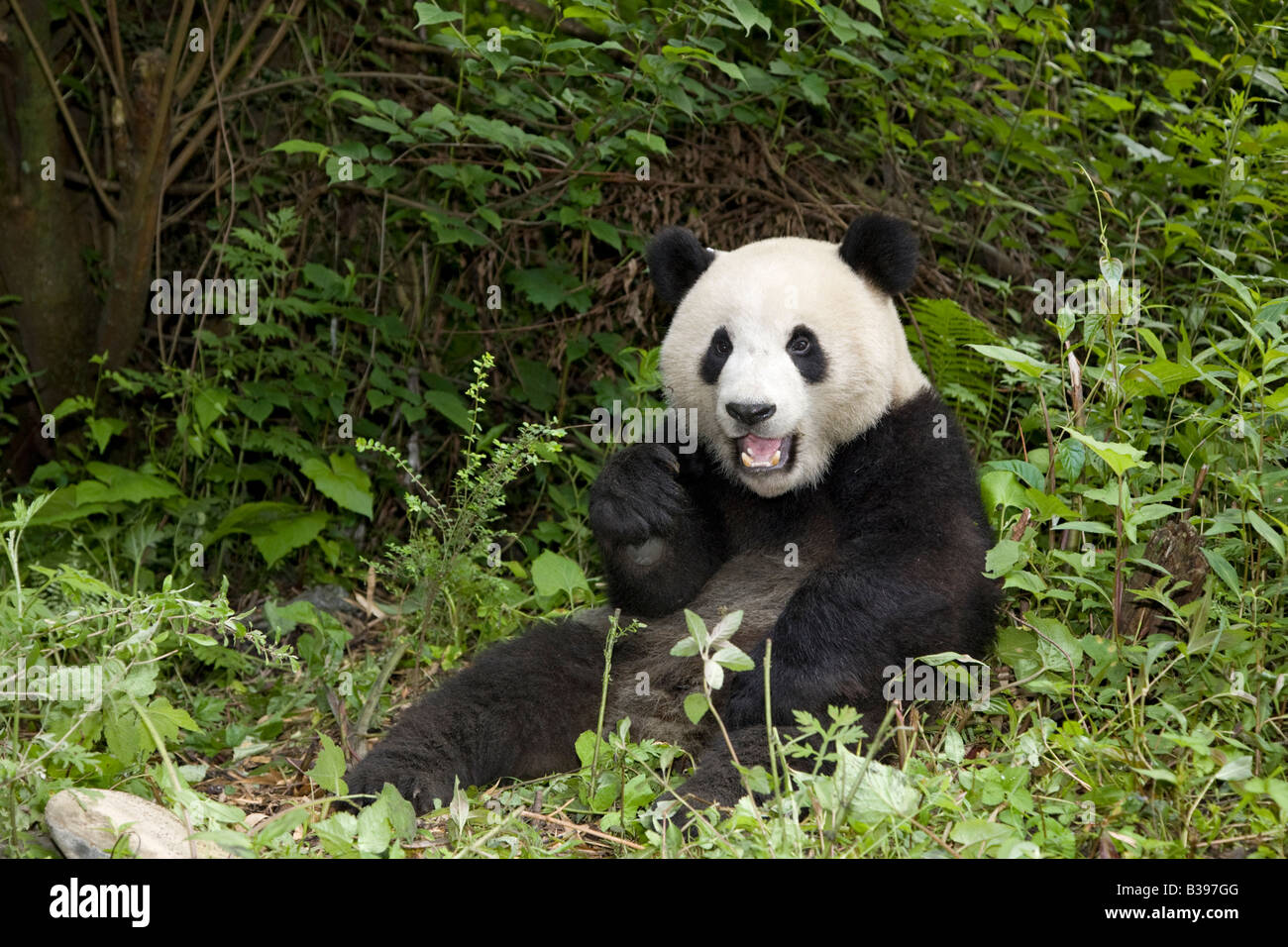 Giant Panda in the forest, Wolong China - Stock Image
