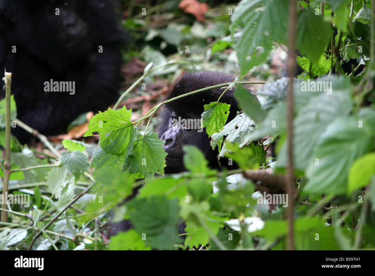 Baby Mountain gorilla of the Amahoro Group in Volcanoes National Park, Rwanda - Stock Image