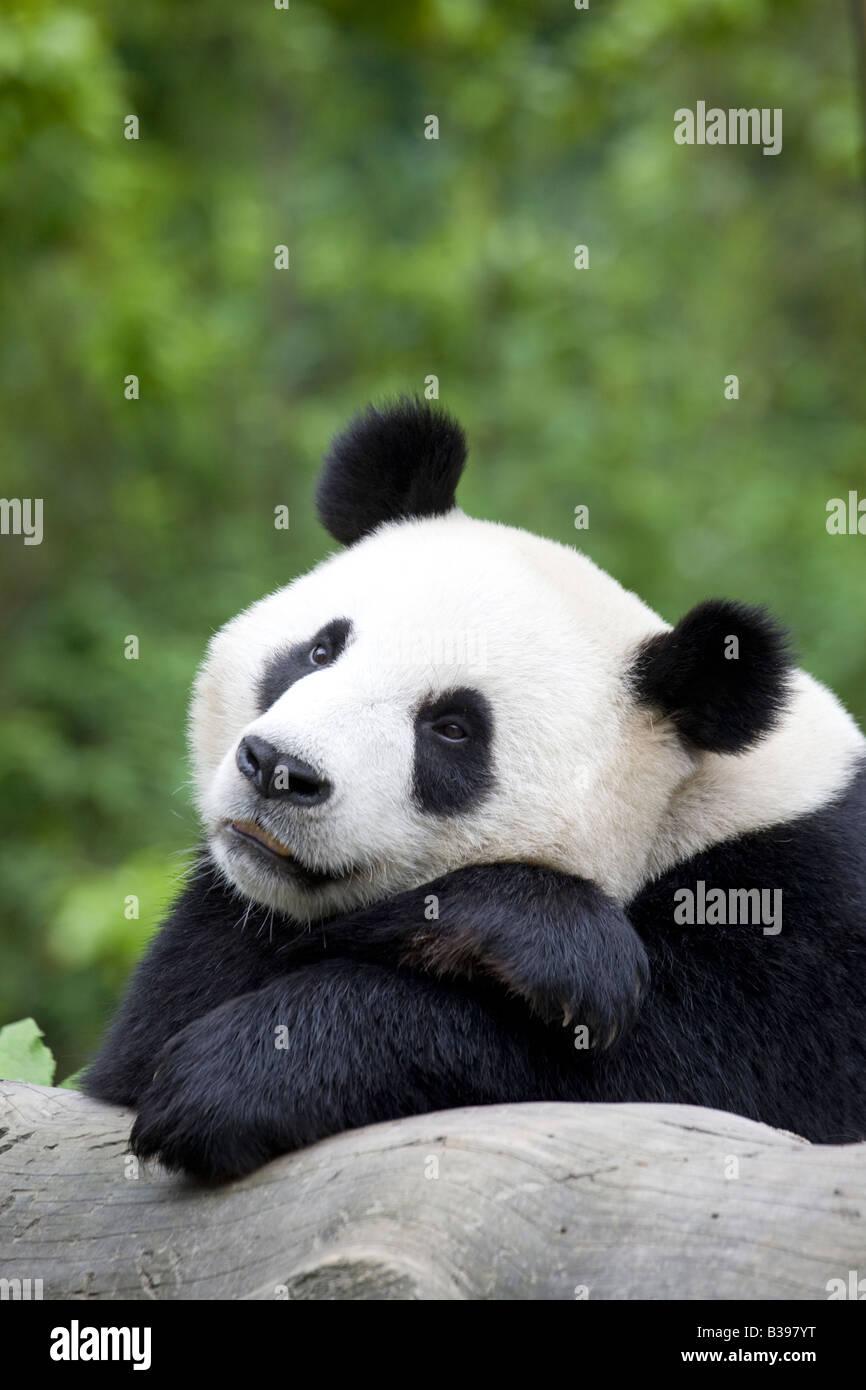 Giant Panda Wolong China - Stock Image