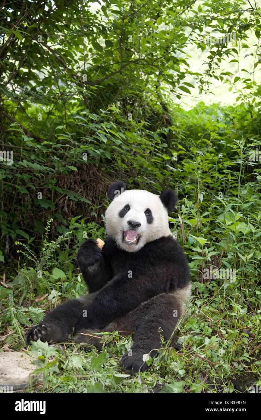 Giant Panda eating, Wolong China - Stock Image
