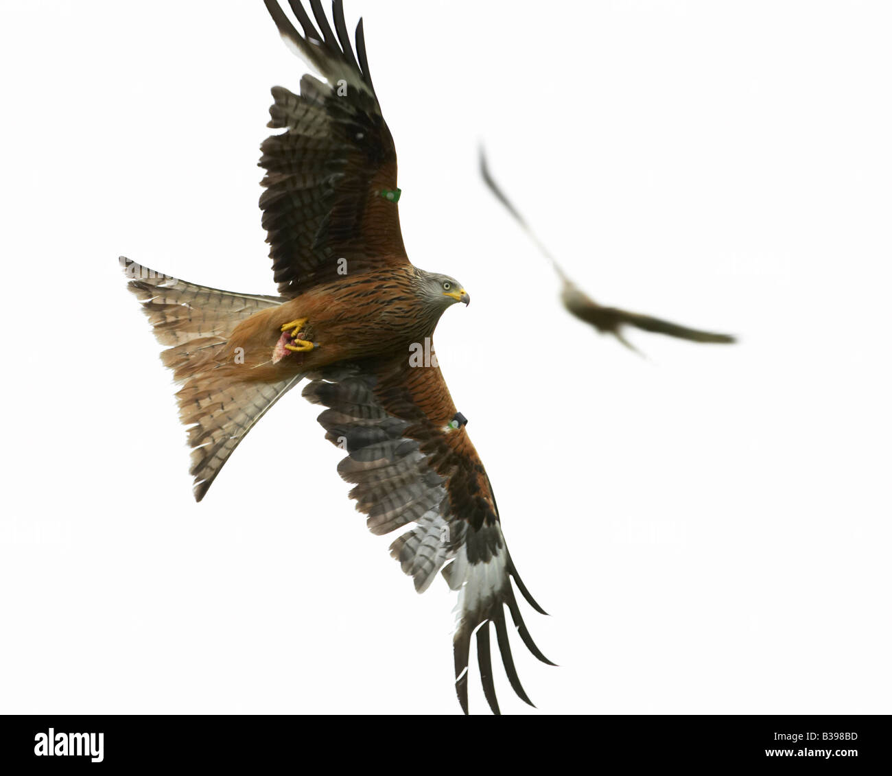 Red kites in flight - Stock Image