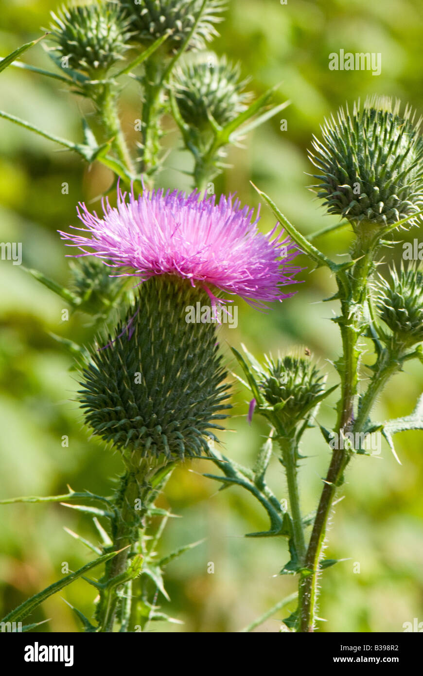 Bull Thistle (Cirsium vulgare), Dolly Sods Wilderness, Tucker County, West Virginia - Stock Image