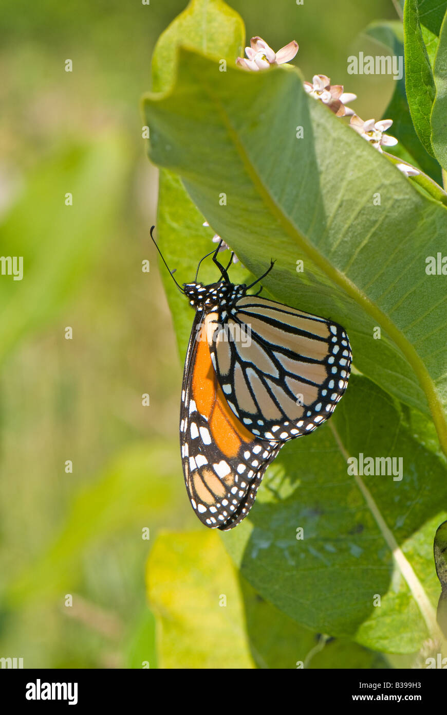 Monarch Butterfly (Danaus plexippus), Dolly Sods Wilderness, Tucker County, West Virginia - Stock Image