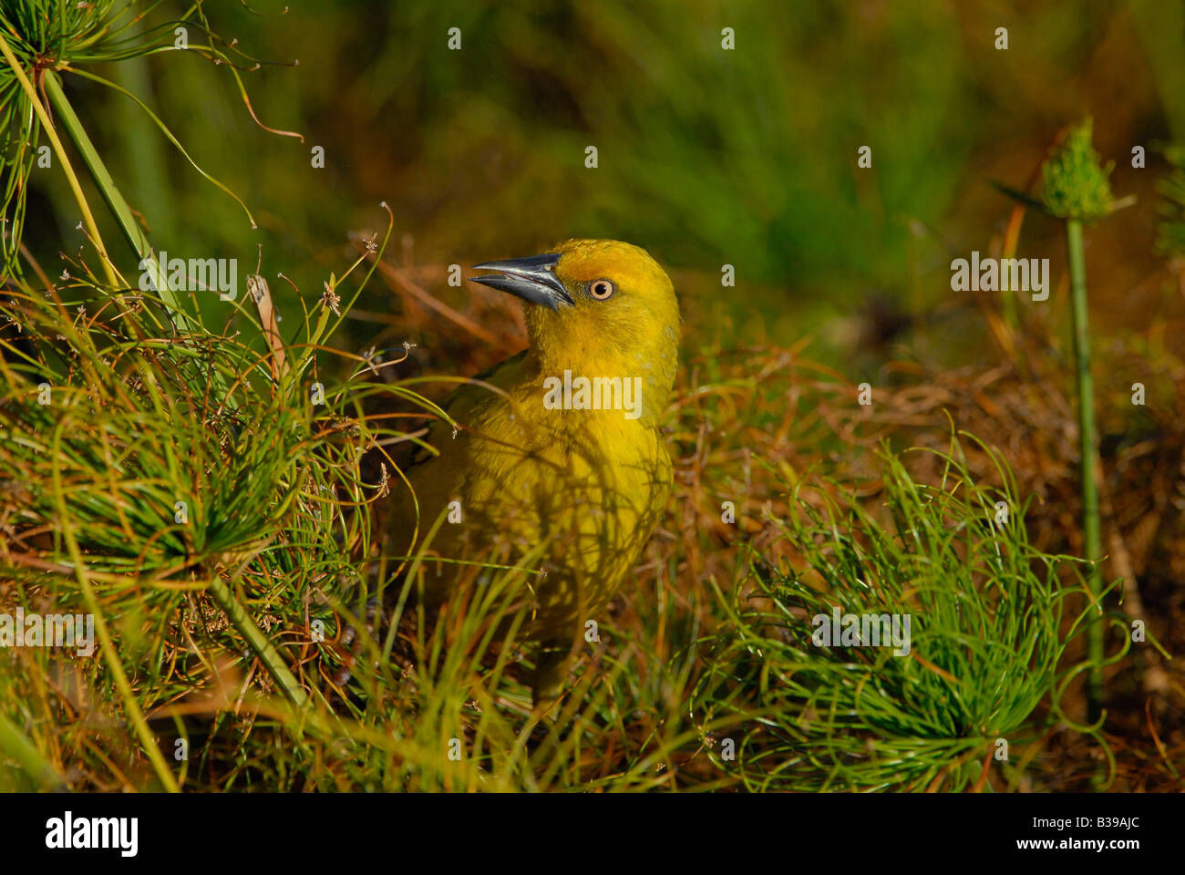 Male Cape Weaver sitting on papyrus plant, Helderberg Nature Reserve, Cape, South Africa - Stock Image