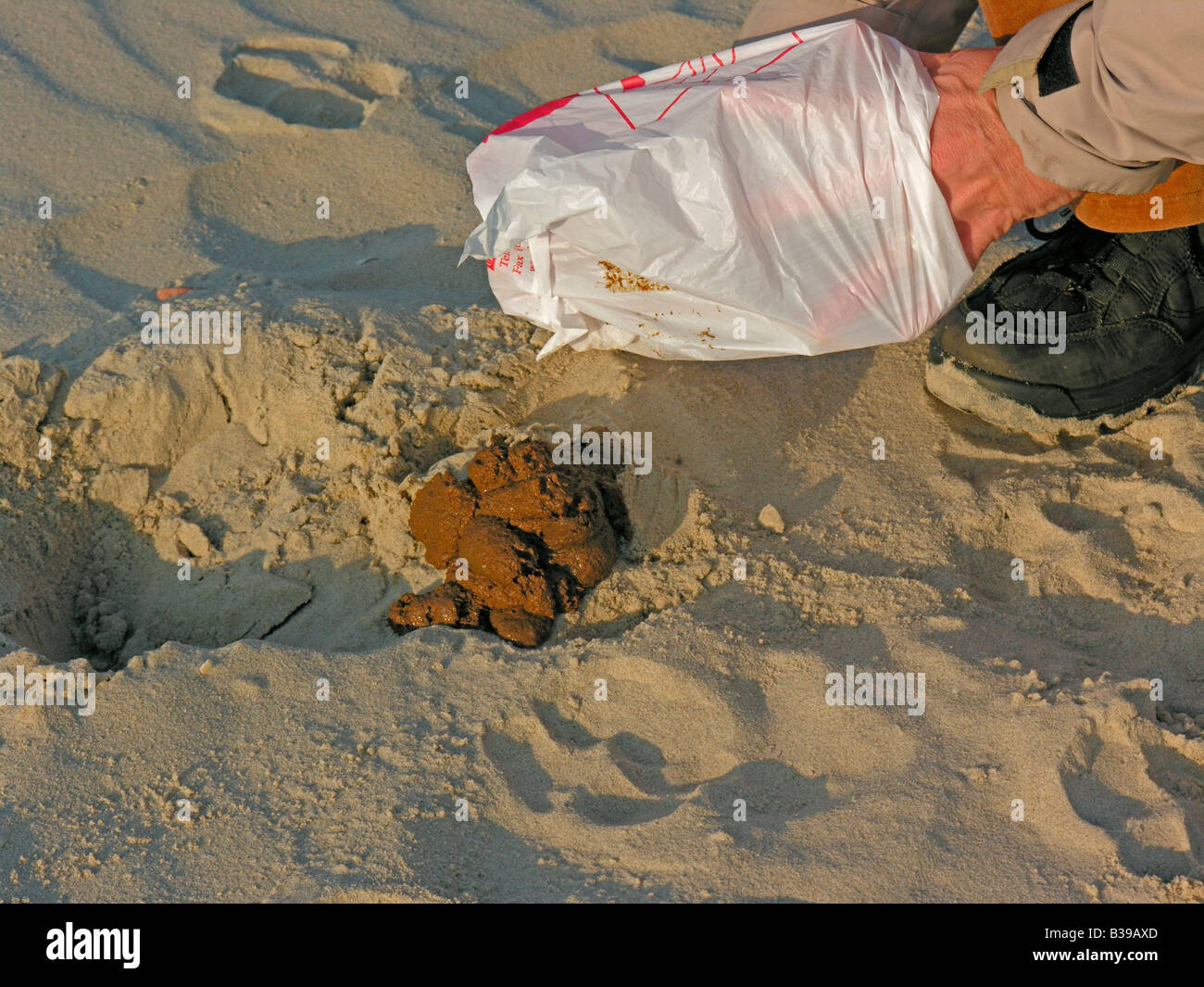 woman eliminating dog dirt doggie do with a plastic bag on beach - Stock Image