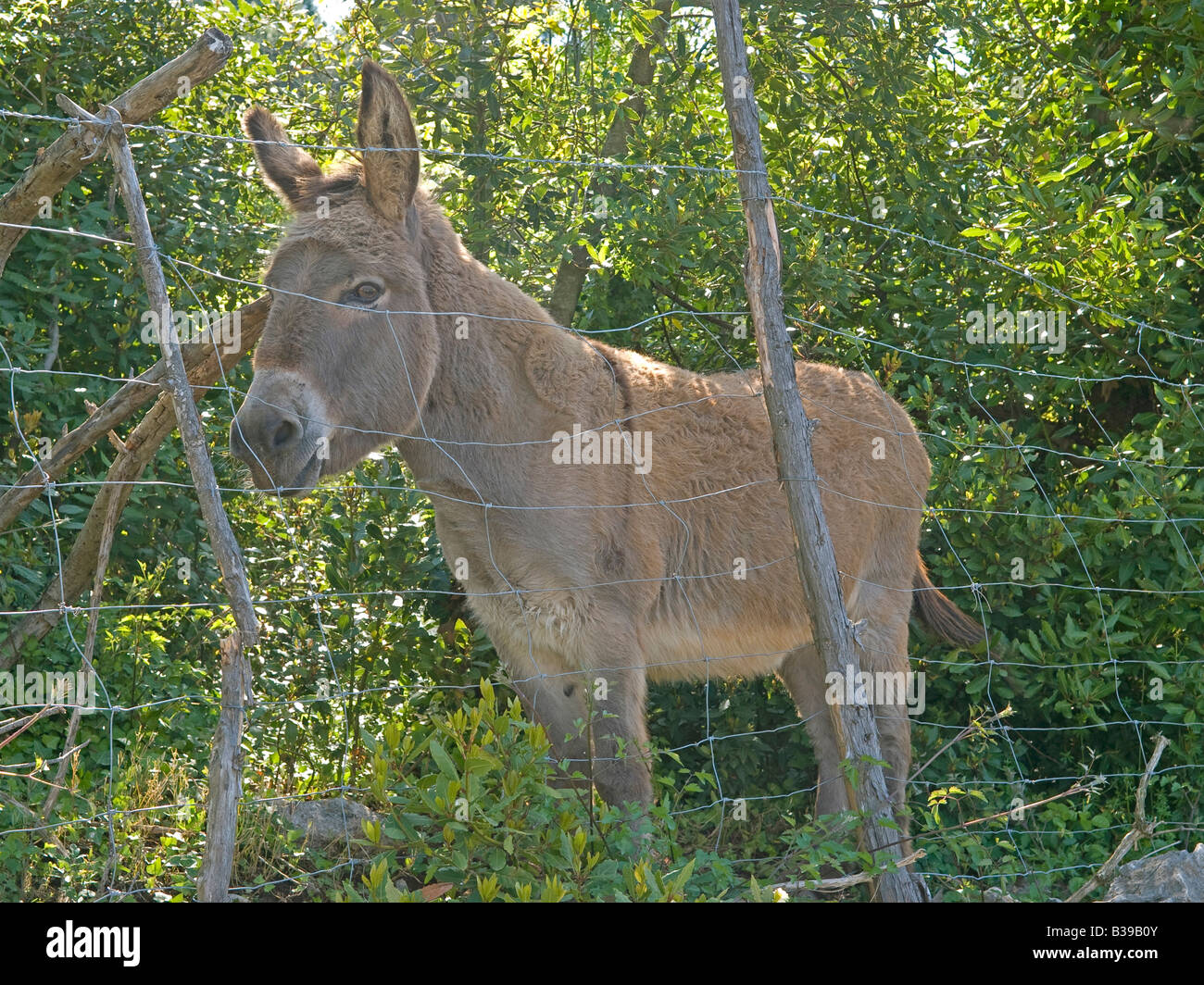 a donkey behind a fence in shrubberies is looking suspicious Stock Photo