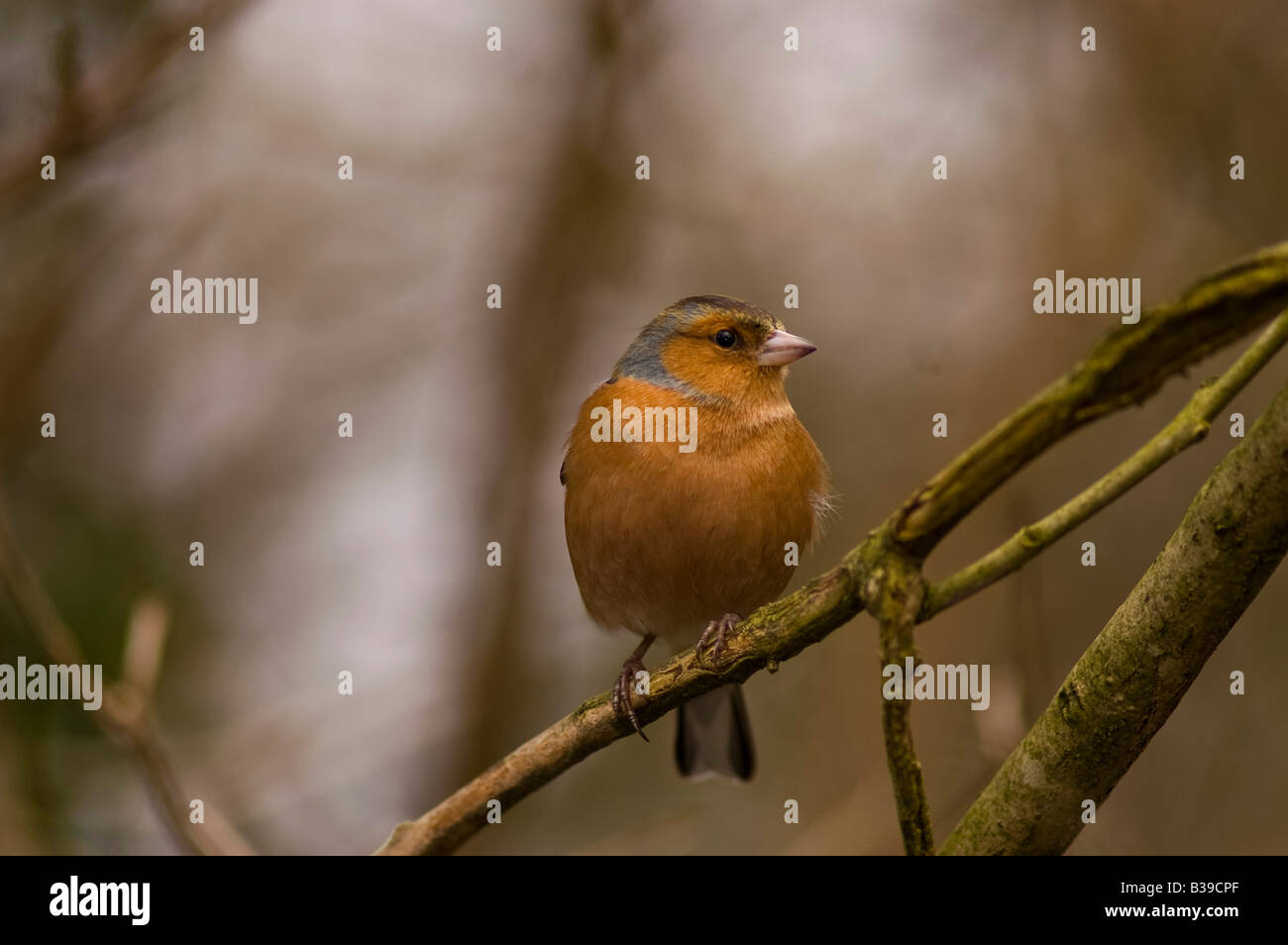 Chaffinches are one of our most vocal finches and can be seen in most gardens and in most parts of the countryside. - Stock Image