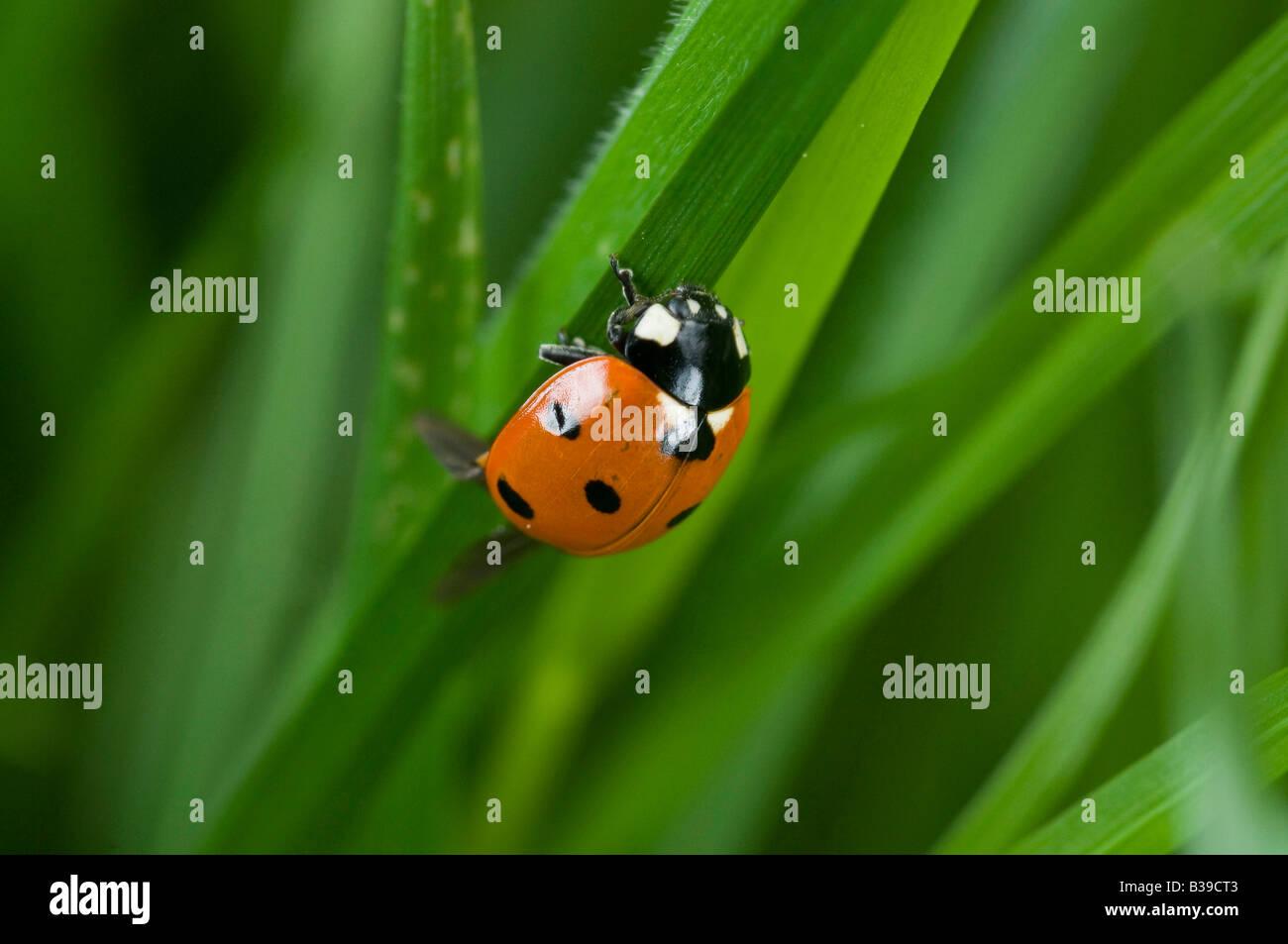 Ladybird Cocinella 7-punctata in long grass. Stock Photo