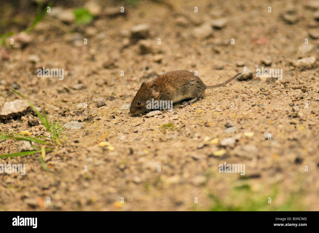 Common Bank Vole Clethrionomys glareolus running around feeding in small scrub clearing in scrub area of woodland - Stock Image
