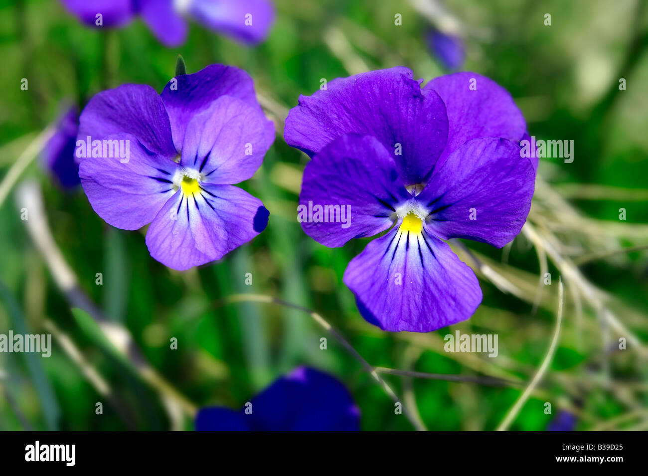 Alpine meadow violet.  Swiss Alps Switzerland Europe - Stock Image