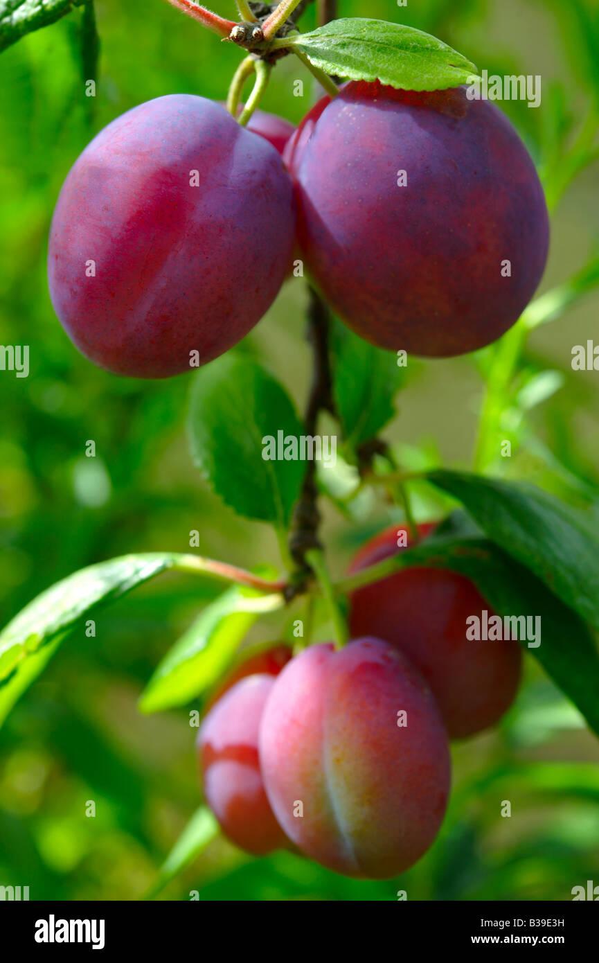 Victoria plums growing ( Prunus domestica ) - Stock Image