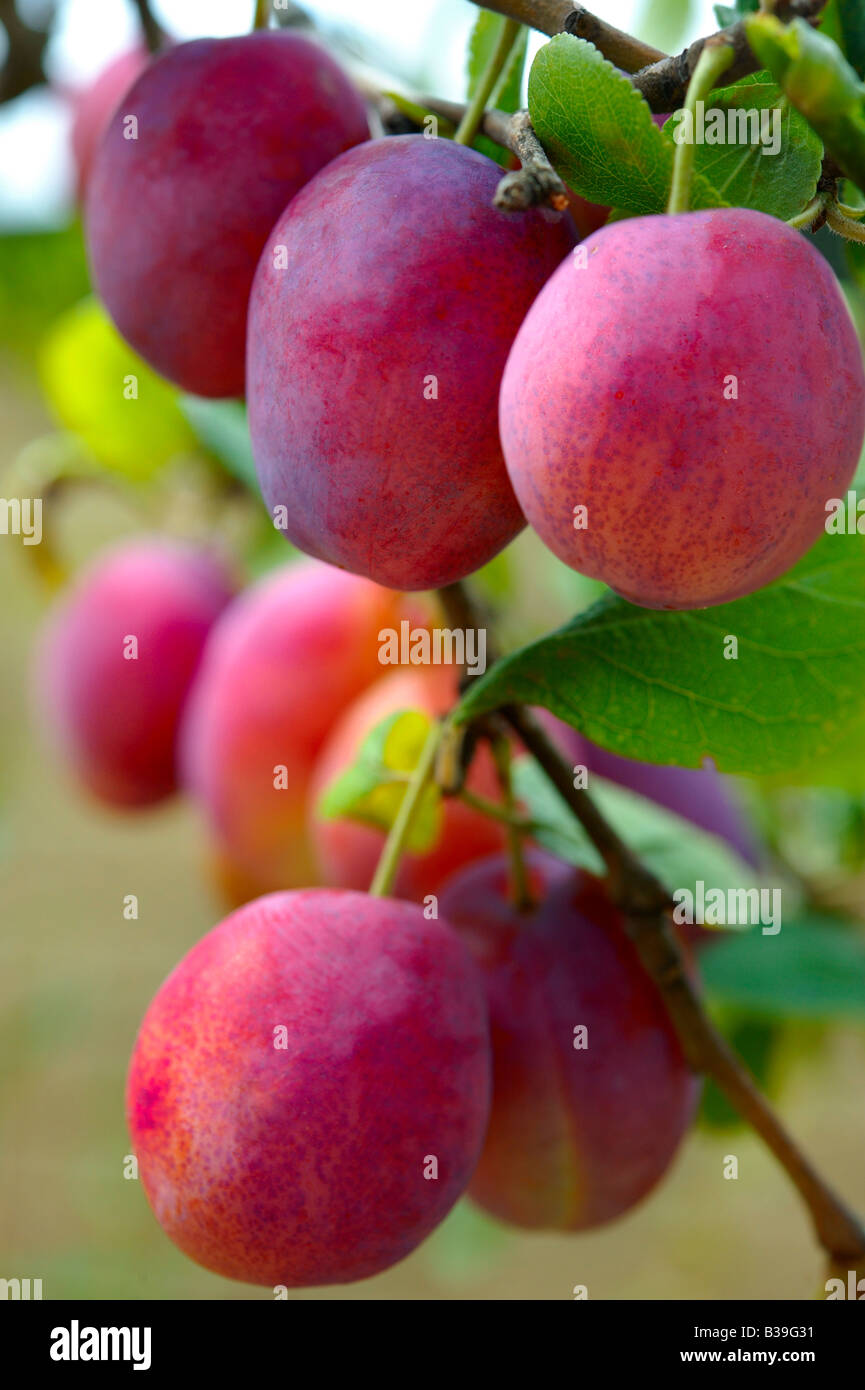 Fresh red Victoria plums ripe growing on a plum tree in an orchard - Stock Image