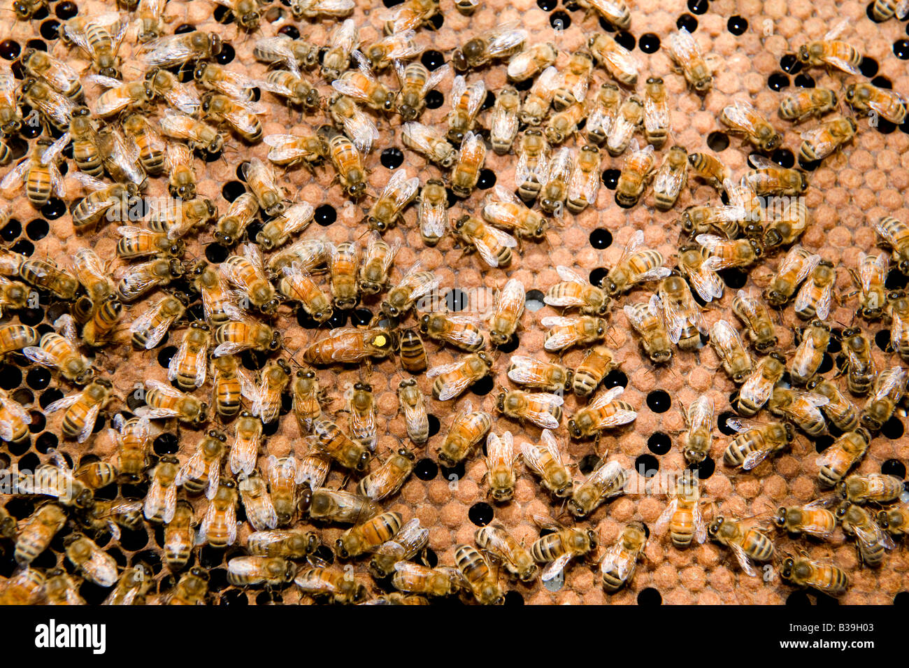 Queen Bee spotted yellow surrounded by workers drone honey bees Apis mellifera on honeycomb - Stock Image