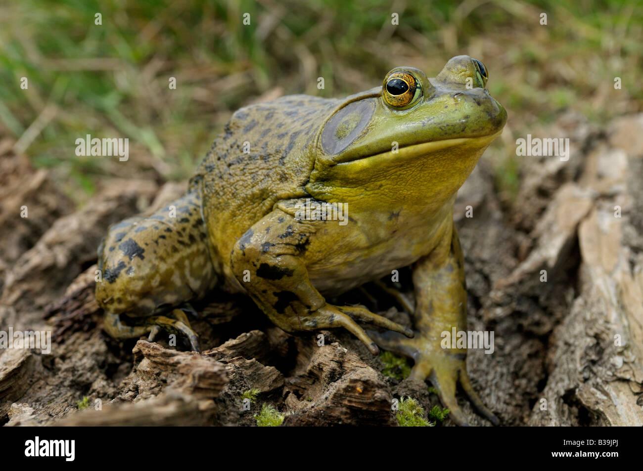 American Bullfrog (Rana catesbeiana, Lithobates catesbeianus), male Stock Photo