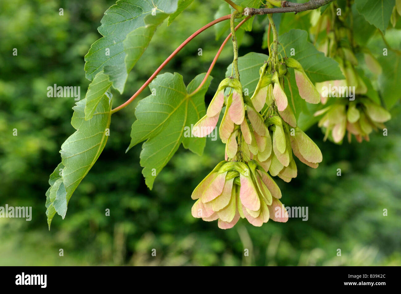 Maple Seed Stock Photos & Maple Seed Stock Images - Alamy