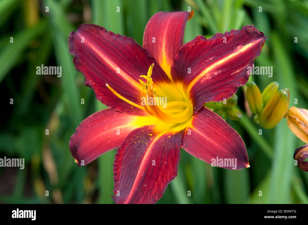 Day Lily `Missenden` - Stock Image