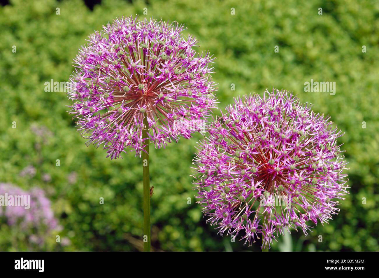 Pink flowers growing at Manito Park in Spokane, Washington State, USA - Stock Image