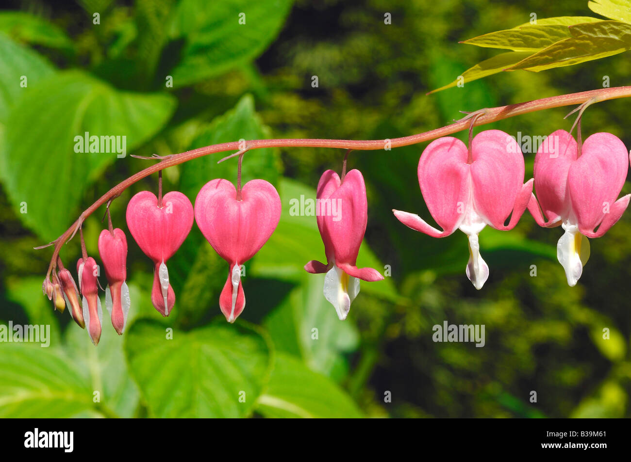 Pink Heart Shaped Flower Growing At Manito Park In The City Of Stock