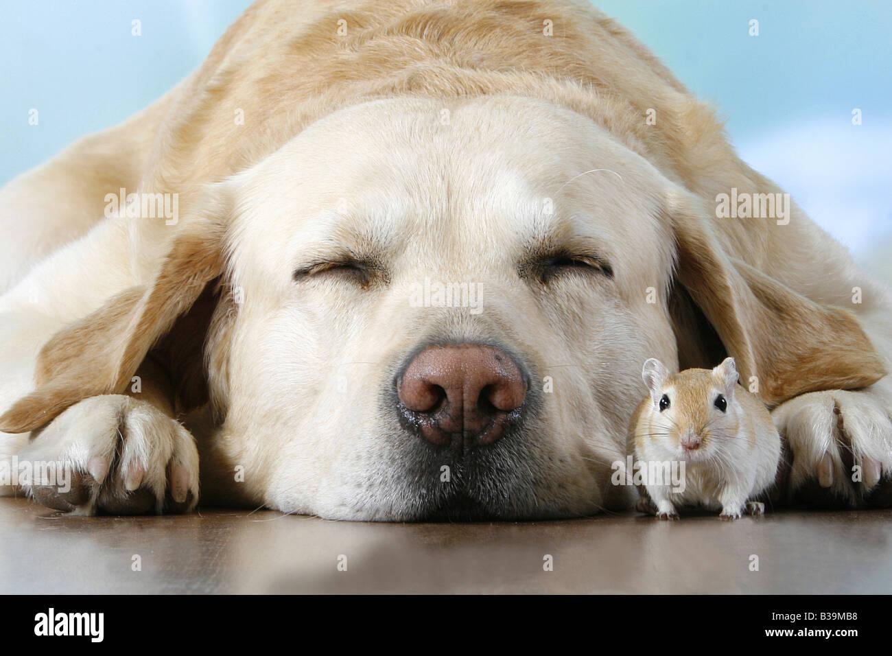 animal friendship: Labrador Retriever - sleeping with gerbil - Stock Image