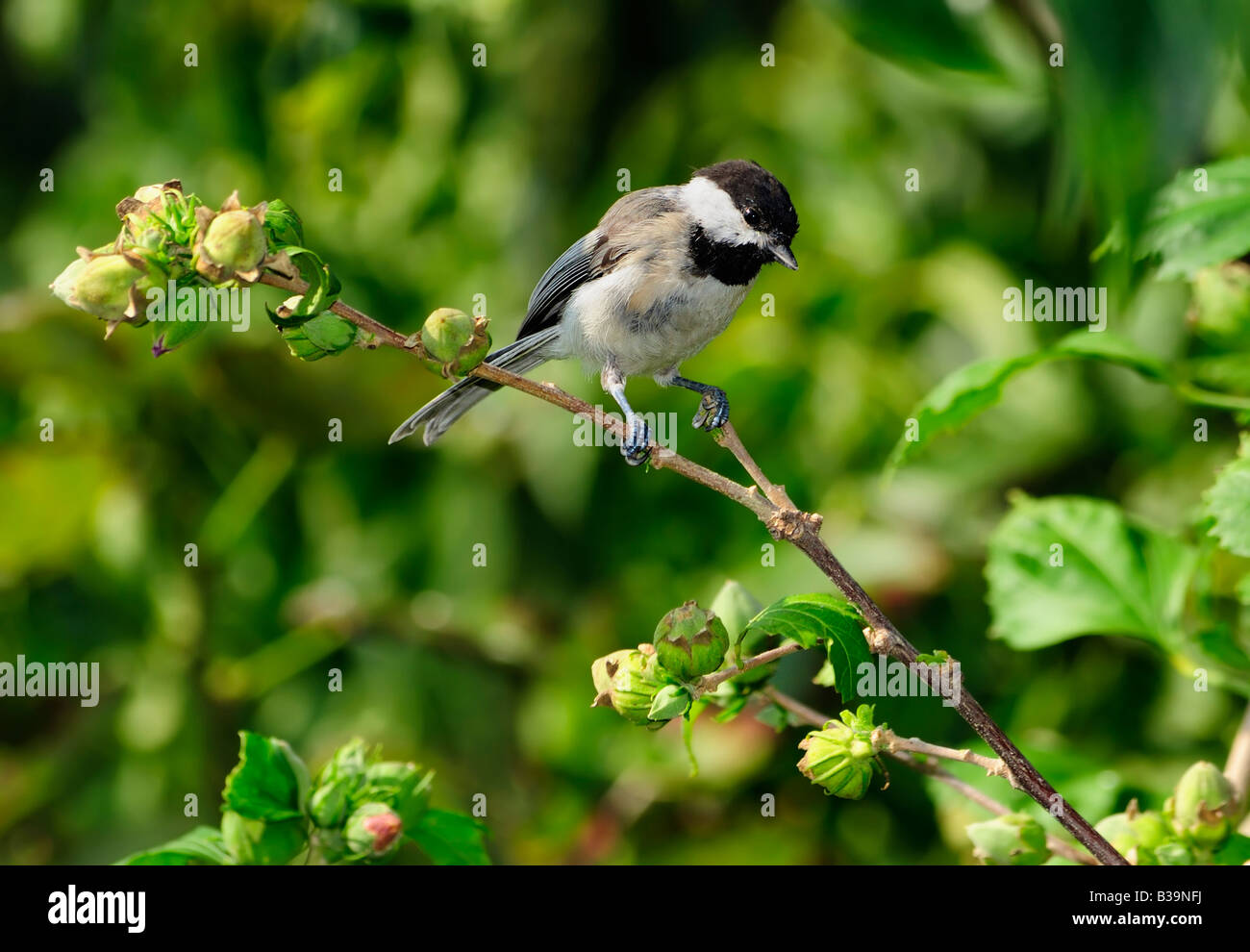 A Black capped Chickadee, Poecile atricapilla, perches in a Rose of Sharon shrub, Hibiscus syriacus. Oklahoma, USA. - Stock Image