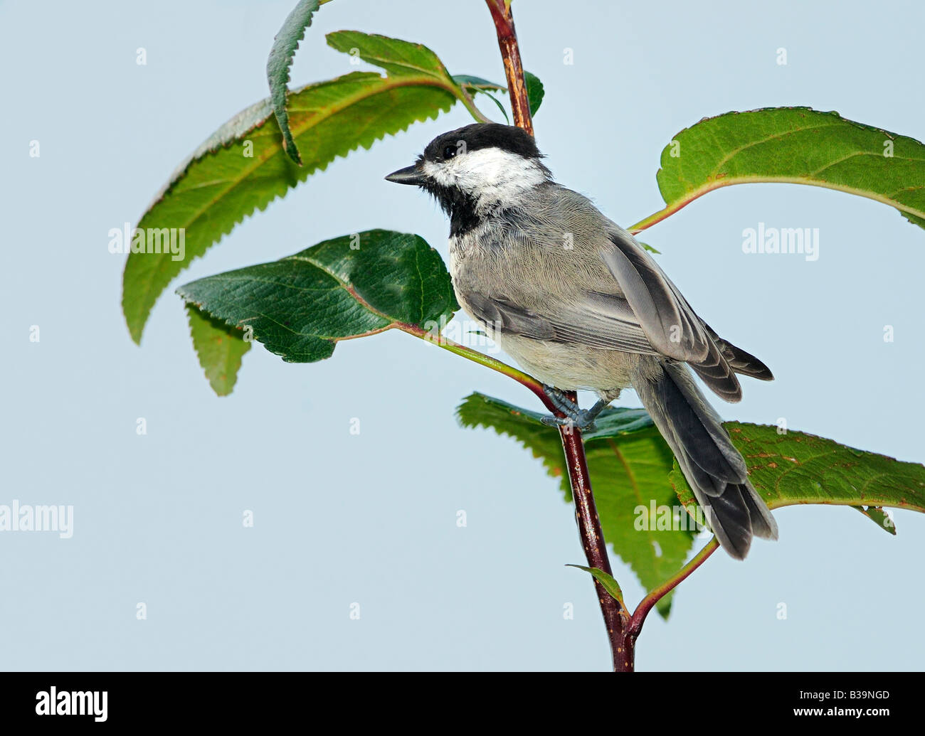 A Black capped Chickadee, Poecile atricapilla, grasps a branch. Oklahoma, USA. - Stock Image