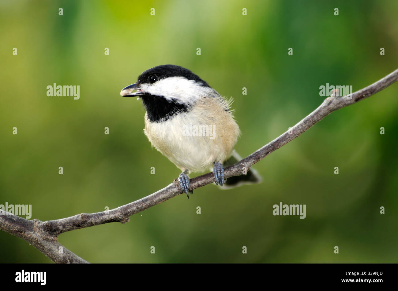 A Black capped Chickadee, Poecile atricapilla, perches on a branch. Oklahoma, USA - Stock Image