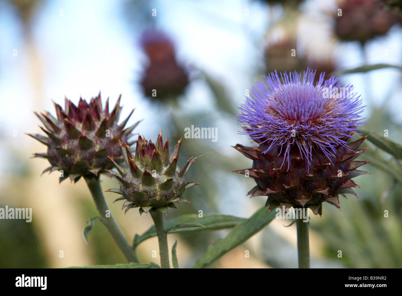 cardoon cynara cardunculus artichoke thistle plant growing and flowering in a herb garden - Stock Image