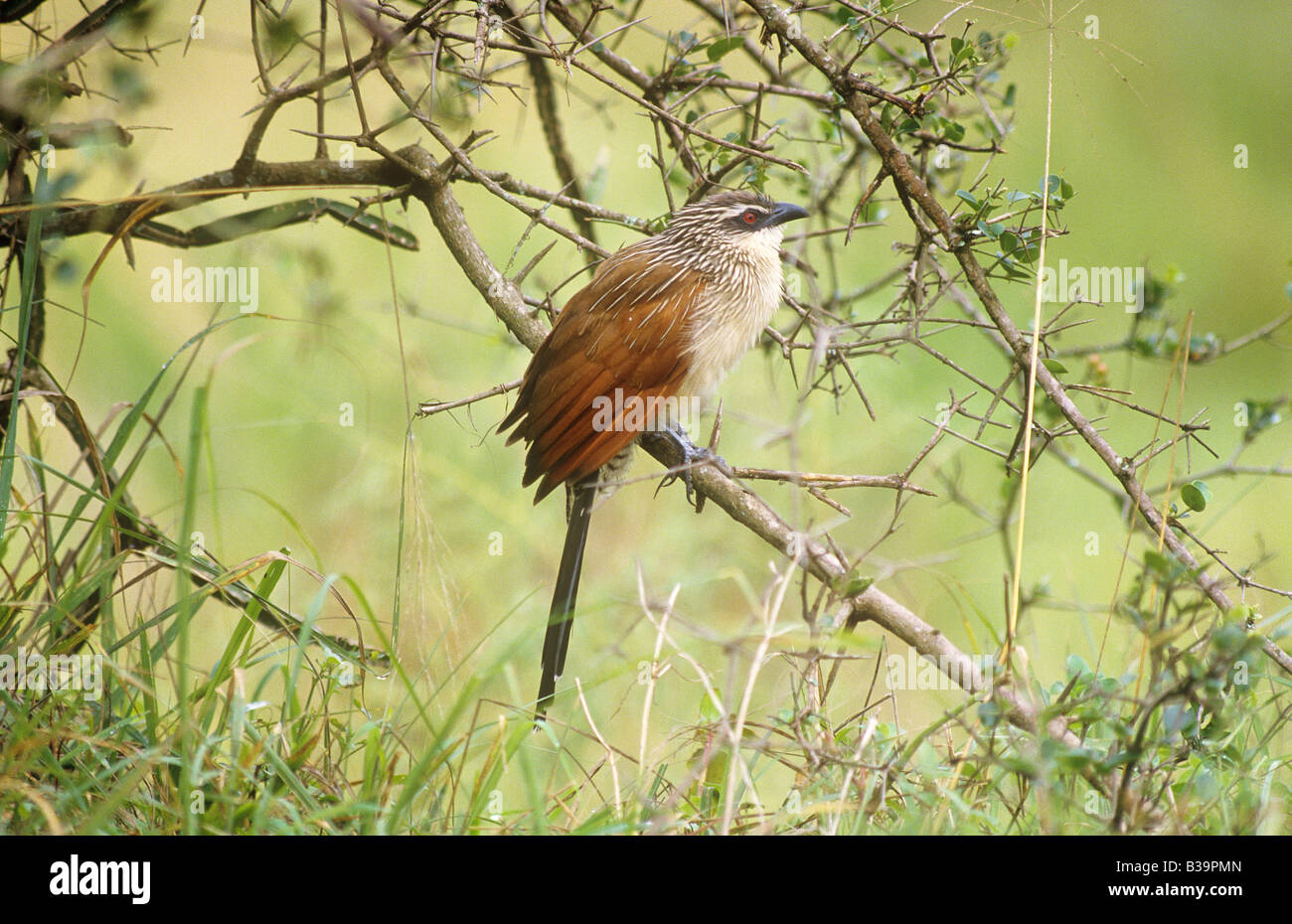 White-browed Coucal - sitting on branch / Centropus superciliosus - Stock Image