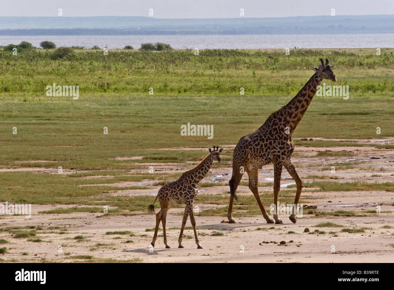 A mother and baby MASAI GIRAFFE Giraffa camelopardalis tippelskirchi LAKE MANYARA NATIONAL PARK TANZANIA - Stock Image