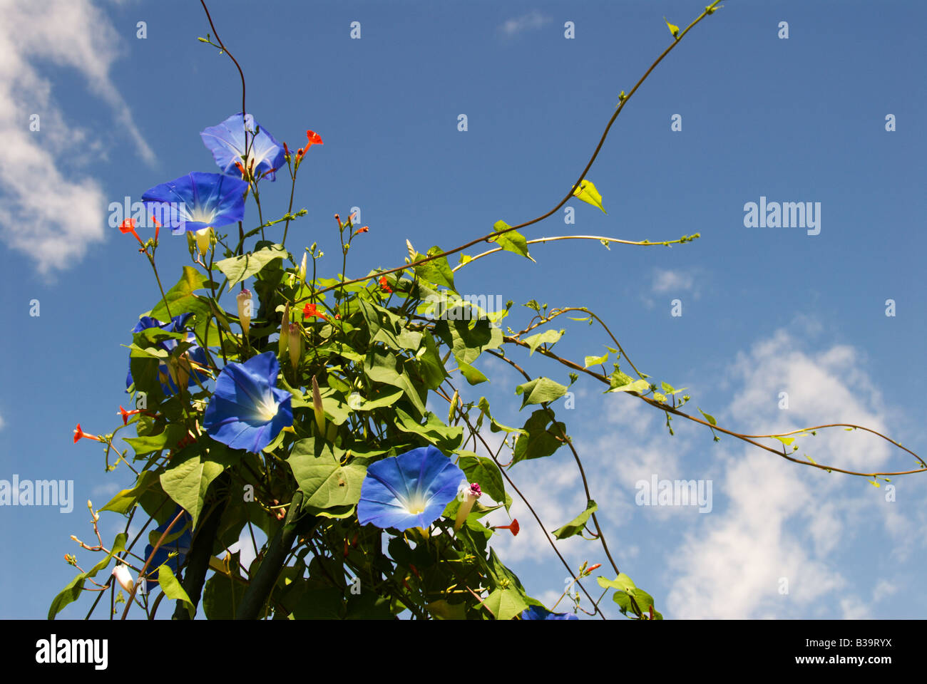 Blue morning glories and red flowers against a blue sky Okaya Nagano Japan August17 2008 - Stock Image
