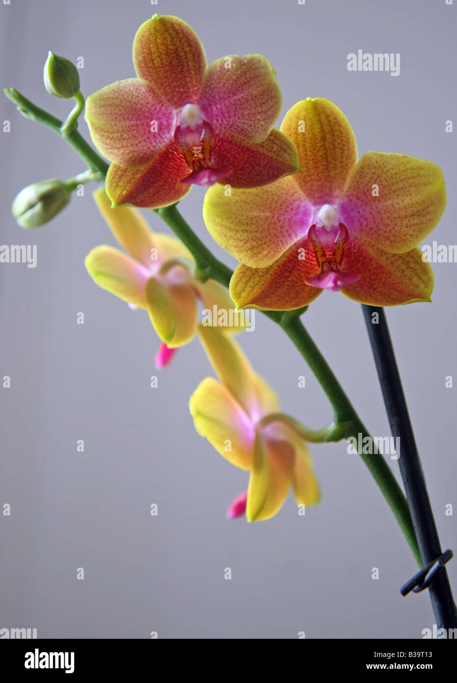 Yellow And Pink Flowers Of A Phalaenopsis Orchid From The Vacherot