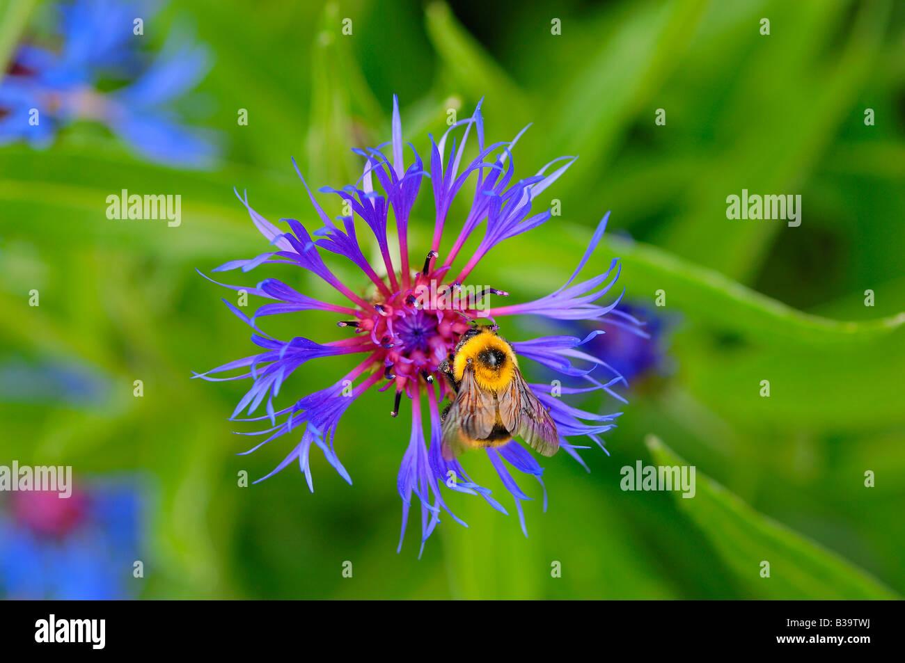 Bee on a purple flower at Manito Park, Spokane, Washington State, USA Stock Photo