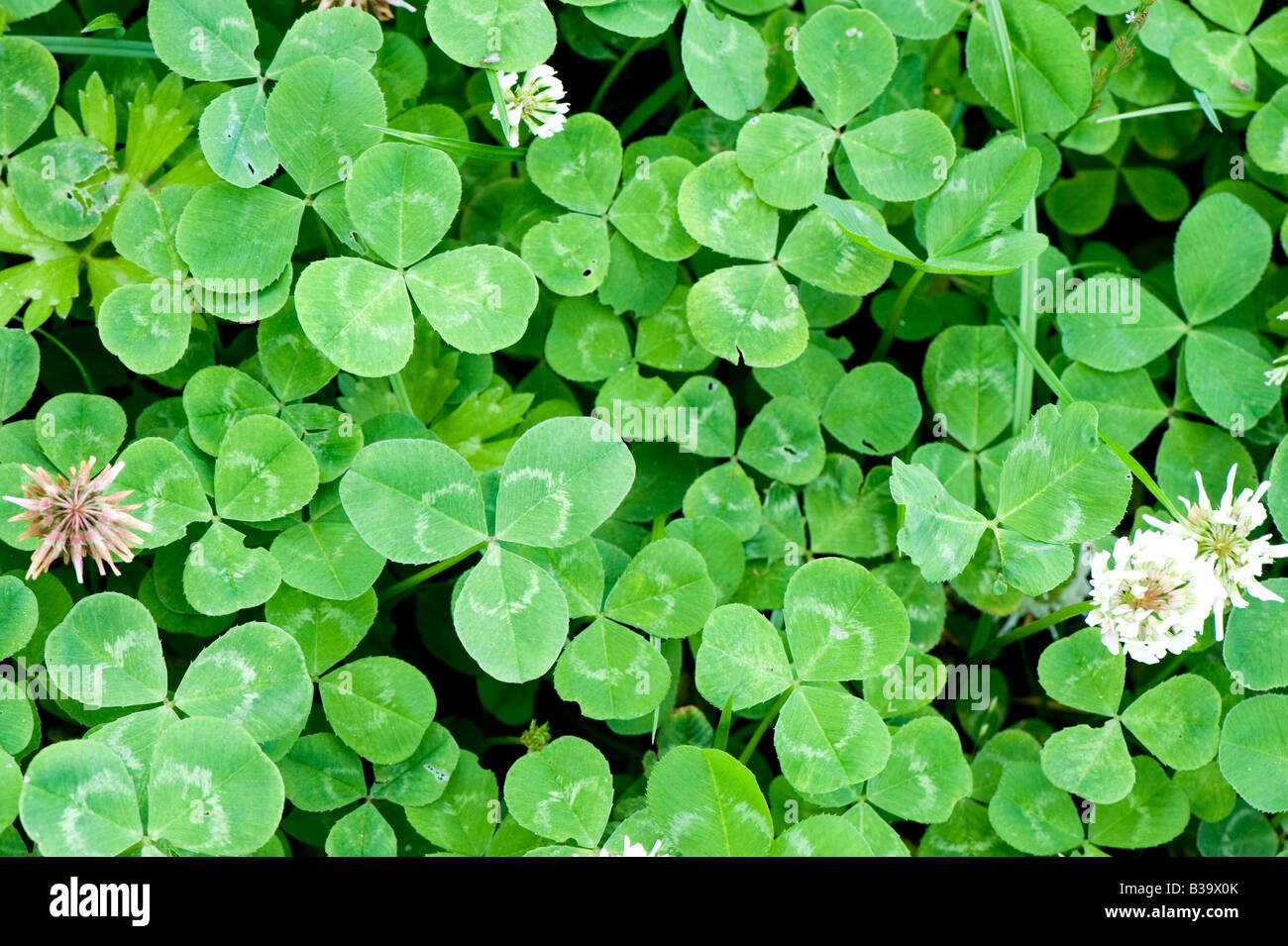 White clover flowering in a grass ley clover mixture Sedbergh Cumbria - Stock Image