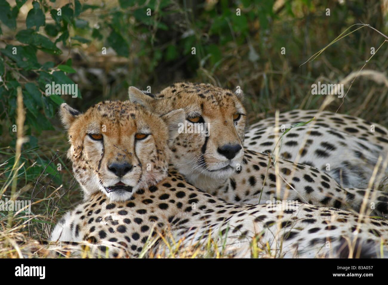 Two Cheetah resting in the shade, Masai Mara, Kenya Stock Photo
