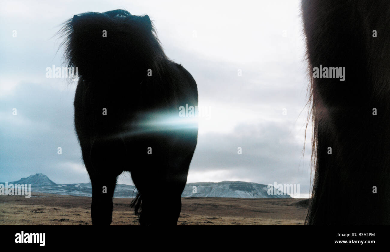 Iceland horse in the back light - Stock Image