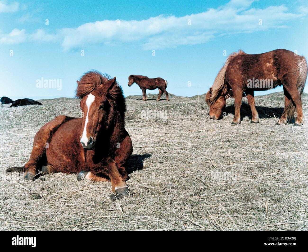 Iceland horses - Stock Image