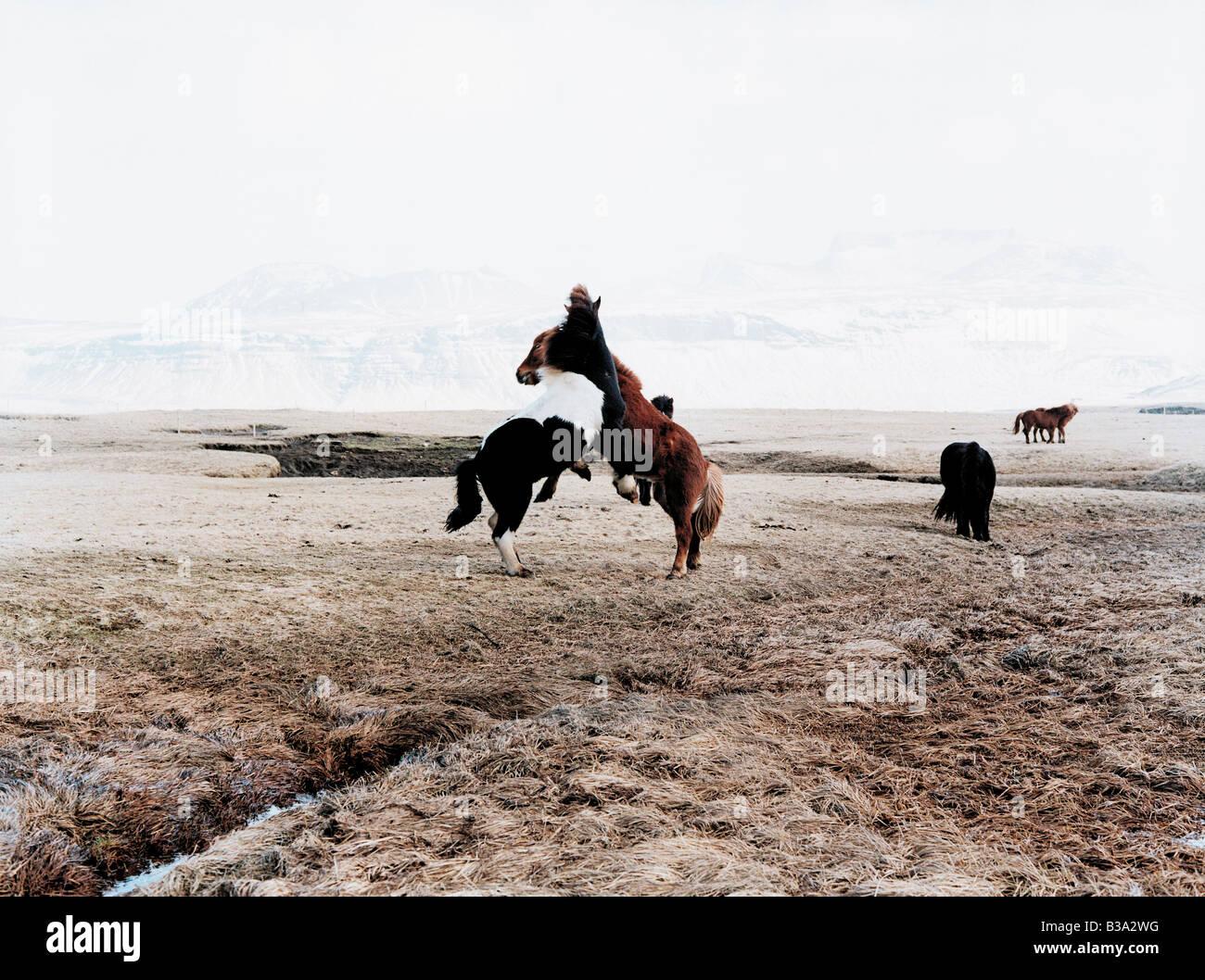 Two fighting Iceland horses - Stock Image