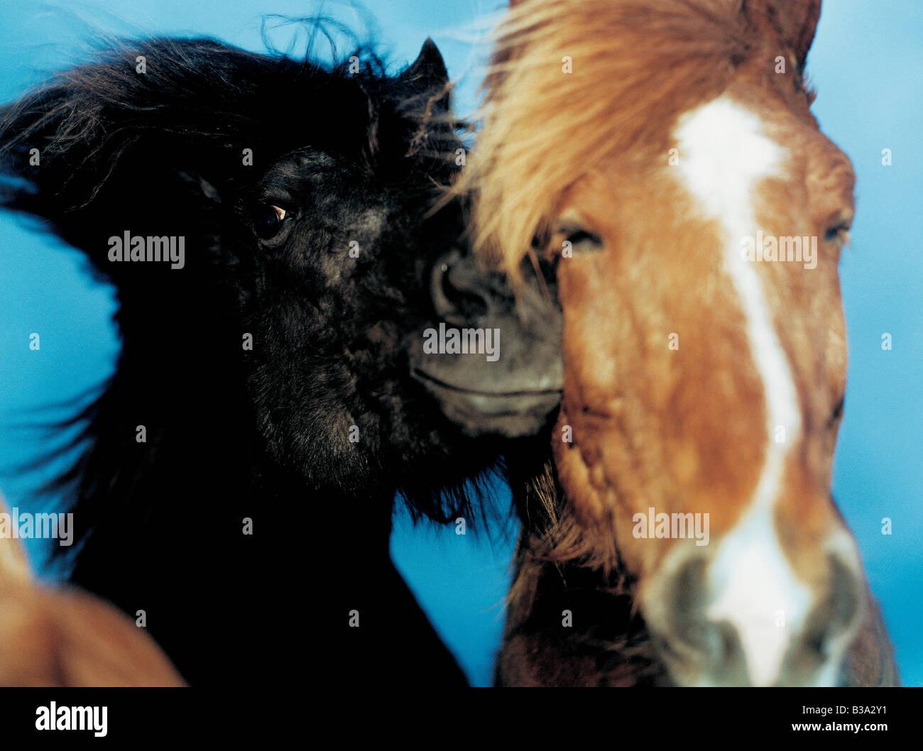 Two Iceland horses - Stock Image