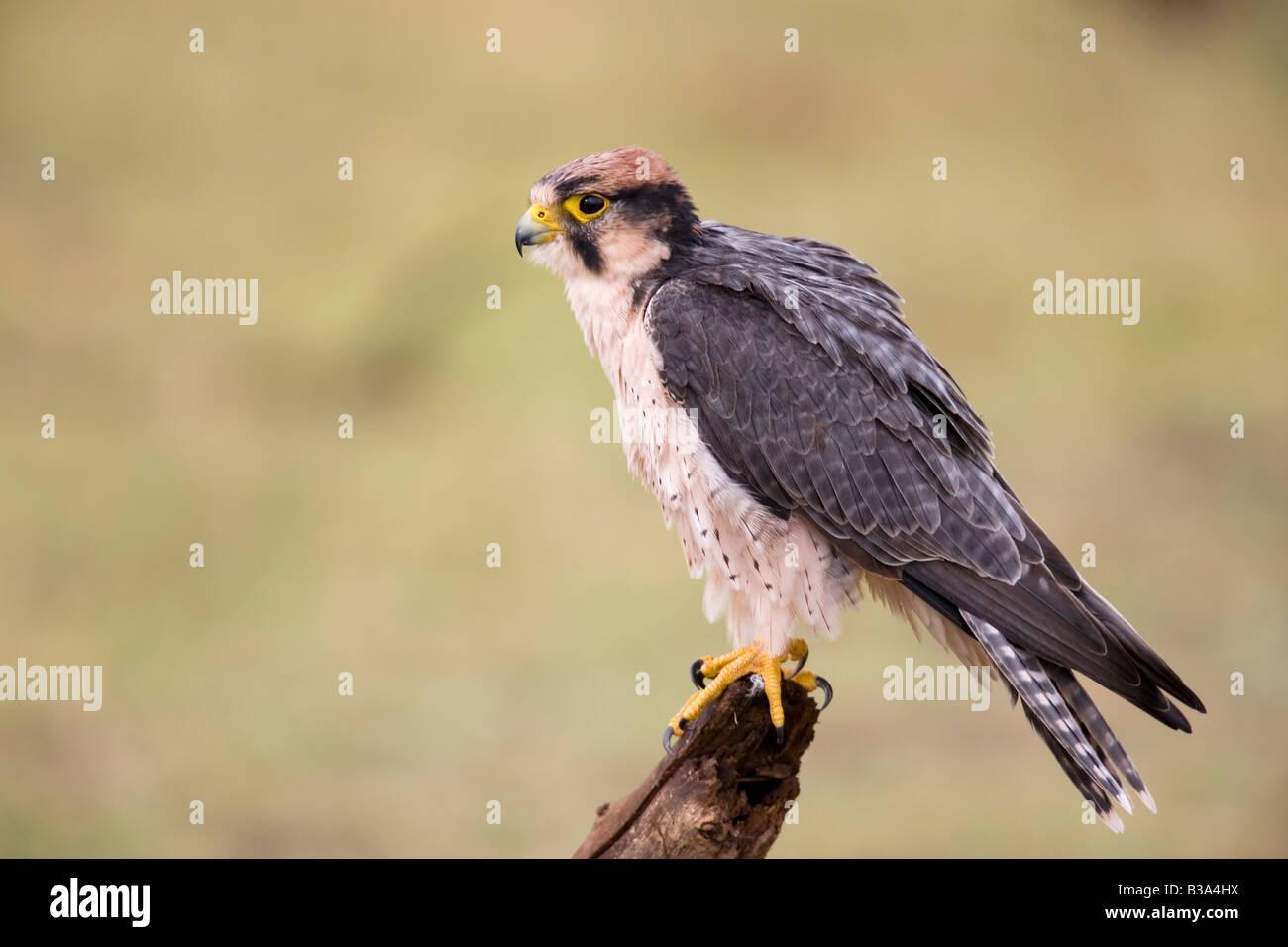 Lanner Falcon Falco biarmicus Manyara National Park Tanzania - Stock Image
