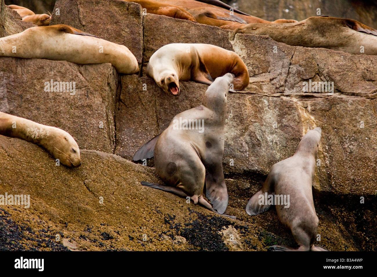 Stellar Sea Lions (Eumetopias jubatus) vie for postion on rocks in Kenai Fjords NP - Stock Image