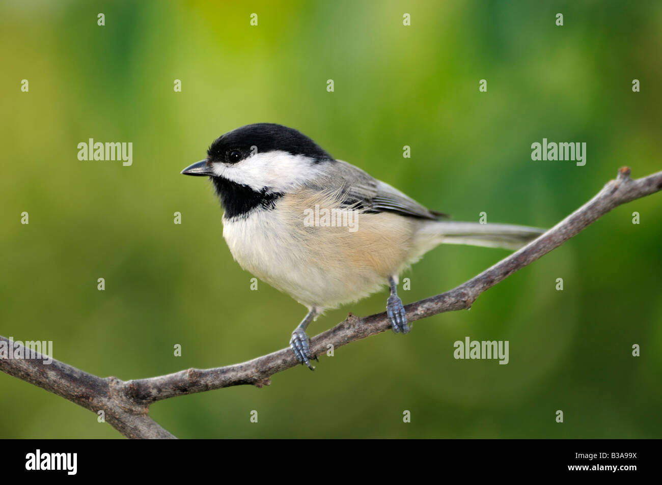 A Black capped Chickadee, Poecile atricapilla, perches on a branch. Oklahoma, USA. - Stock Image