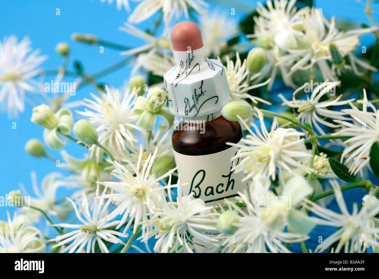 Old man s beard or Traveller s joy Clematis vitalba Bach s floral remedy - Stock Image