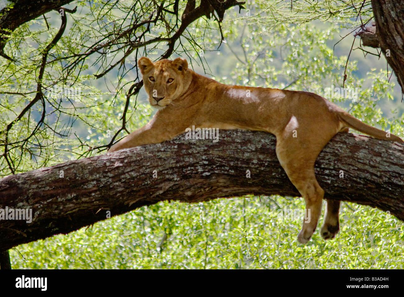 A female LION Panthera leo in a tree LAKE MANYARA NATIONAL PARK TANZANIA - Stock Image