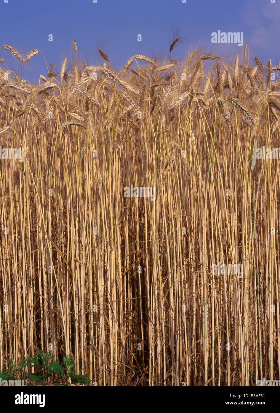 ripe wheat growing in field in France Stock Photo