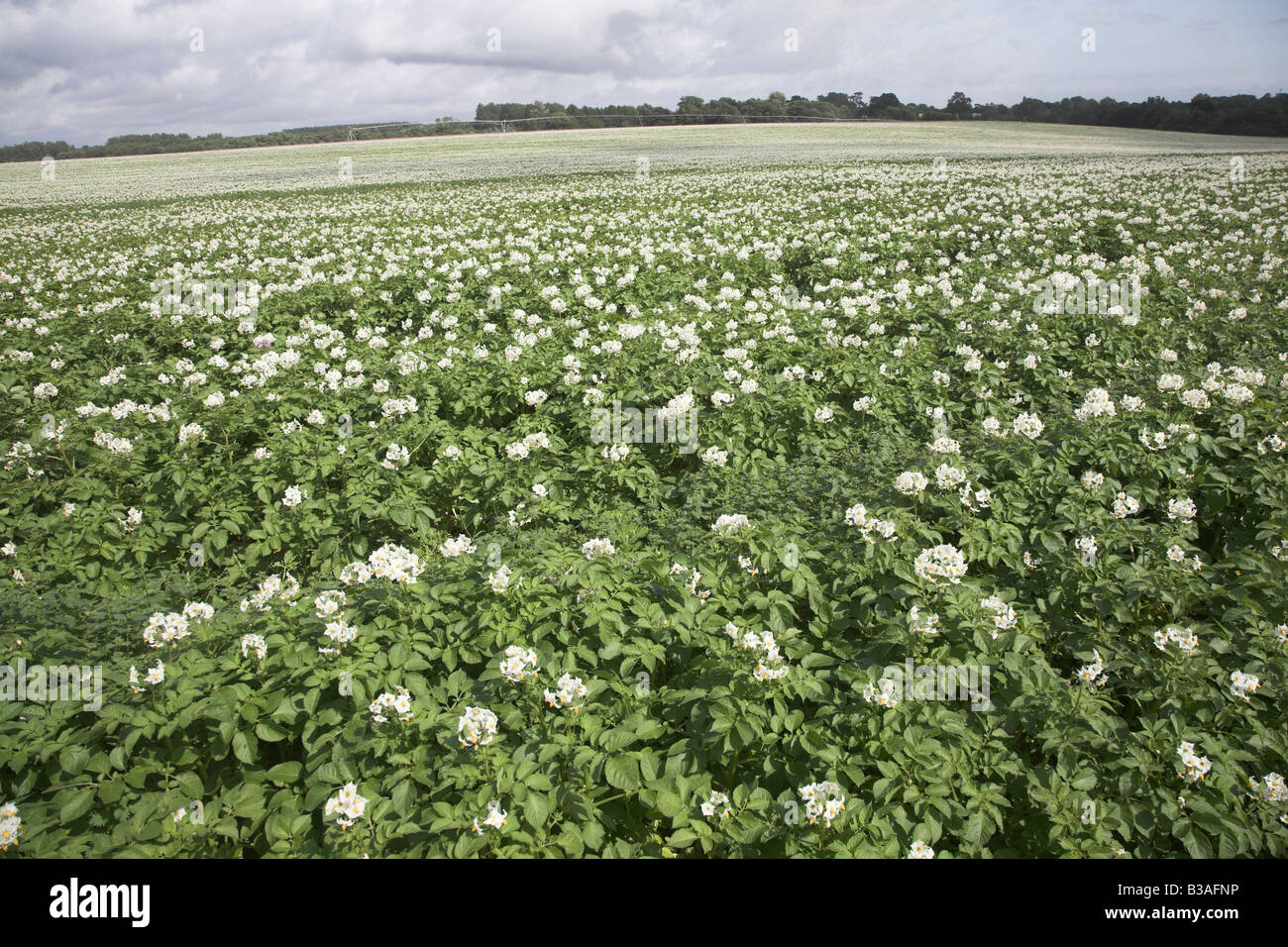White Flowering Potato Crop In Stock Photos White Flowering Potato