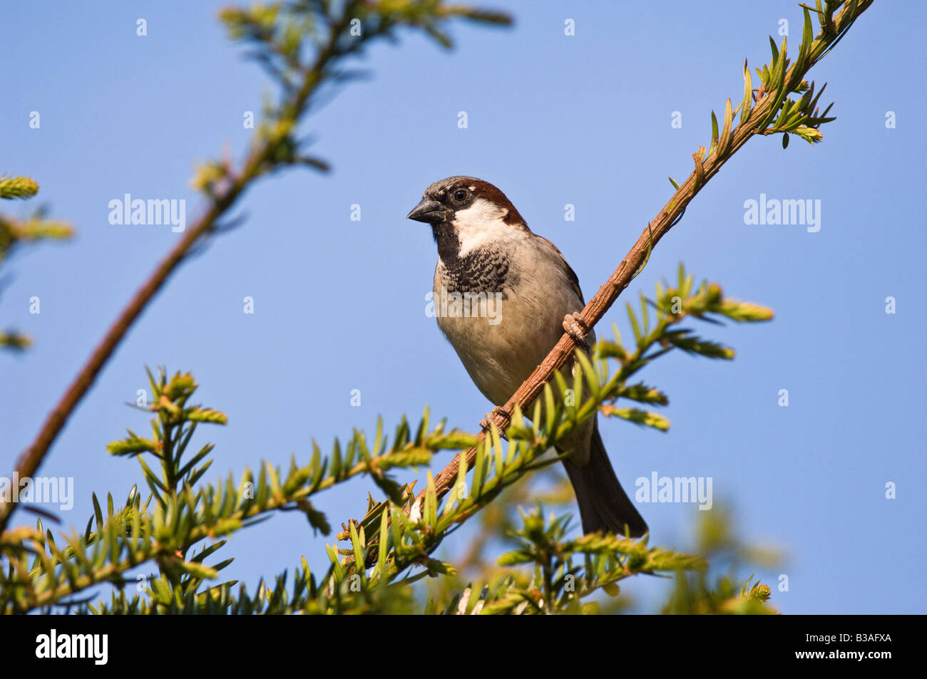 Male house sparrow perched on Yew Tree. - Stock Image